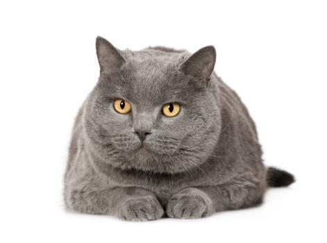 Cat Breeds - Chartreux
