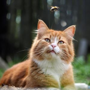 cat bee sting