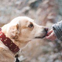 1. Pixabay-Labrador-dog-1861839_1280