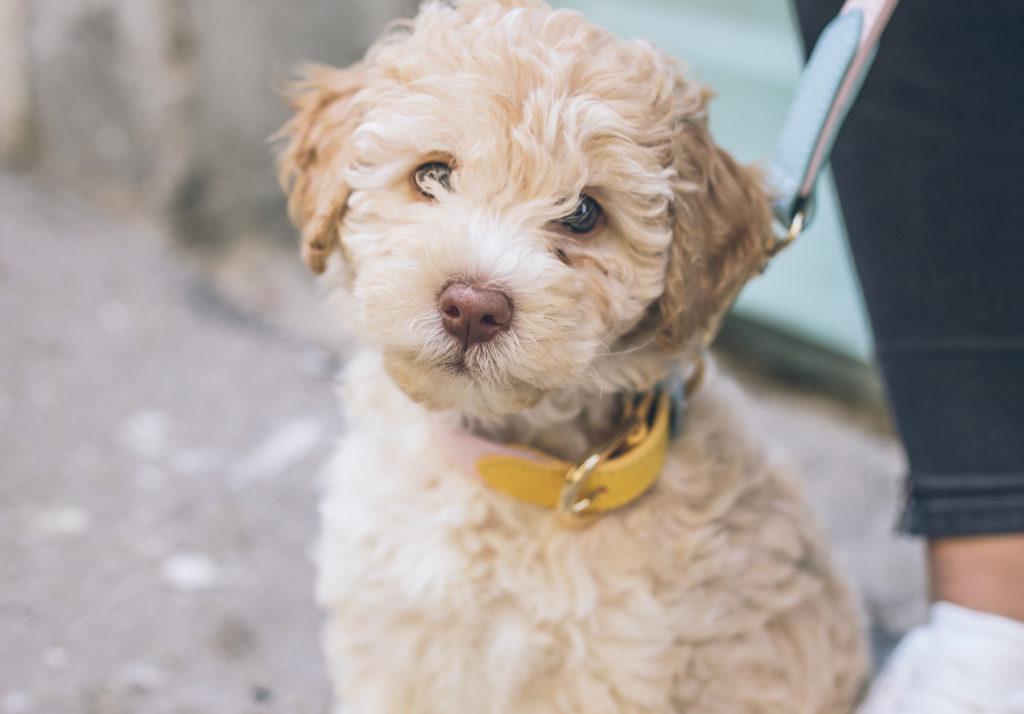 dog on a walk with dog leash and yellow dog collar